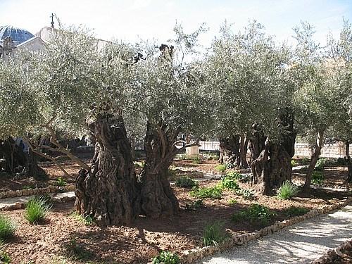 Gethsemane Bahcesi'ndeki binlerce yıllık zeytin ağaçları