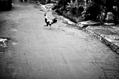 Neha Ramabhadran / The rooster